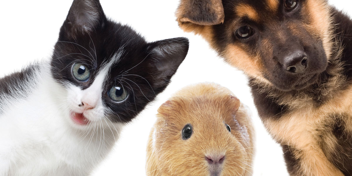 Faces of a kitten, guinea pig and puppy.
